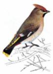 JAZ oiseau