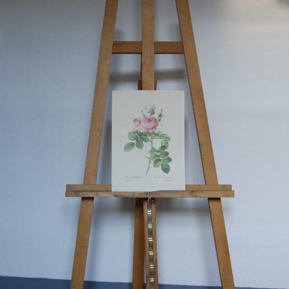 Ancienne affiche botanique Rosier des Parfumeurs